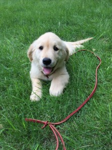 Missy, trained golden retriever puppy