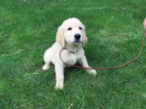 Snoop, trained golden retriever puppy